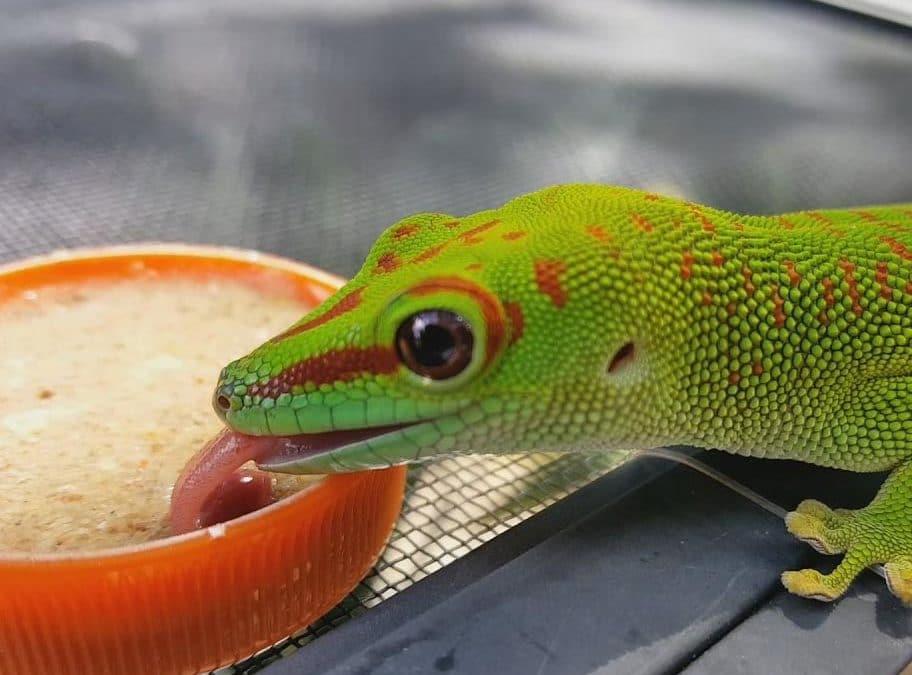 25 Gecko Species That Eat Cgd Zoo Reptilia